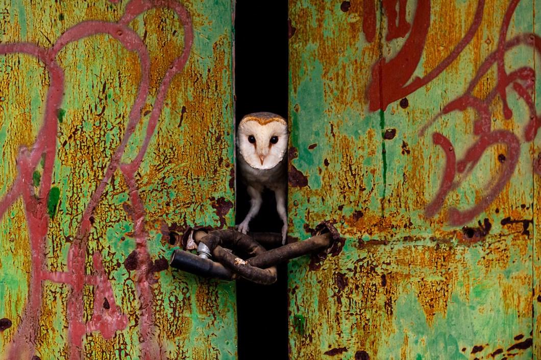 Jose-Luis-RUiz-Jimenez-barn-owl_2021-06-05.jpg