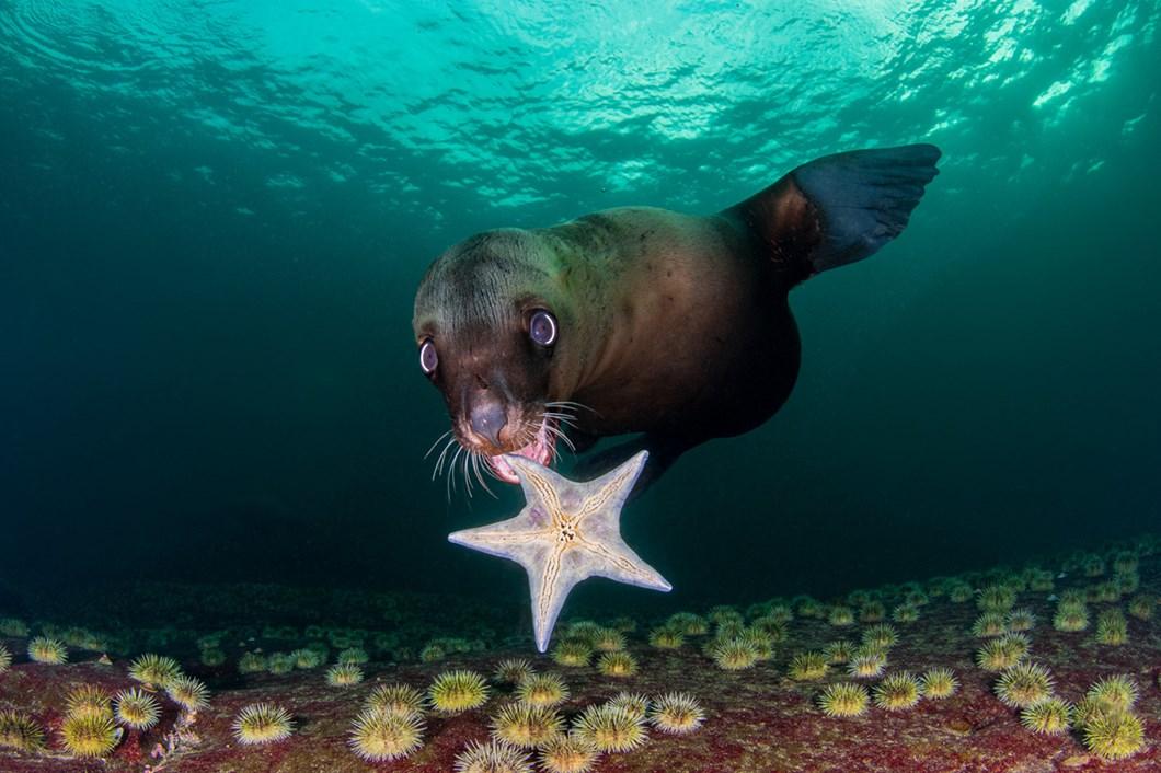 HC-Celia-Kujala-sea-lion-starfish_2021-06-05.jpg