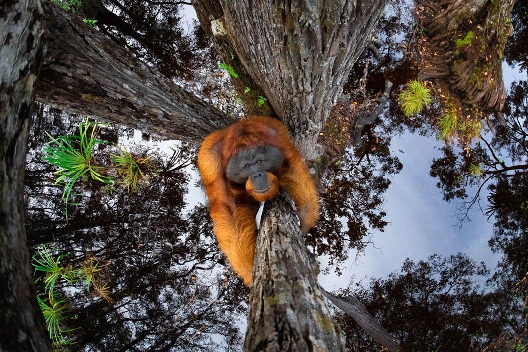 Thomas-Vijayan-orangutan_2021-06-05.jpg