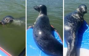 Watch: Inquisitive seal hitches a ride with paddleboarder