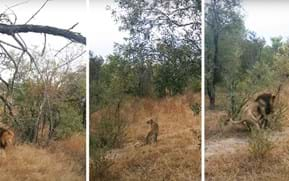 Watch: Leopard's narrow escape from a lion on the prowl
