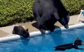 Watch: Bears take a dip in backyard swimming pool to escape heatwave
