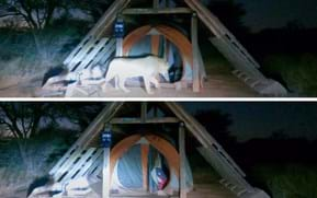 Campers capture footage of lion ransacking their tent