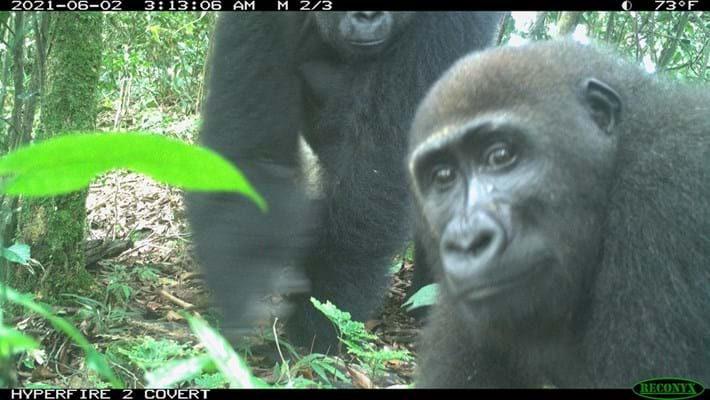 gorillas-nigeria_2021-07-19.jpg
