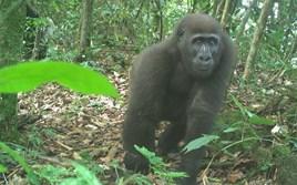 Camera traps capture photos of rare gorillas and other wildlife in tiny Nigerian sanctuary