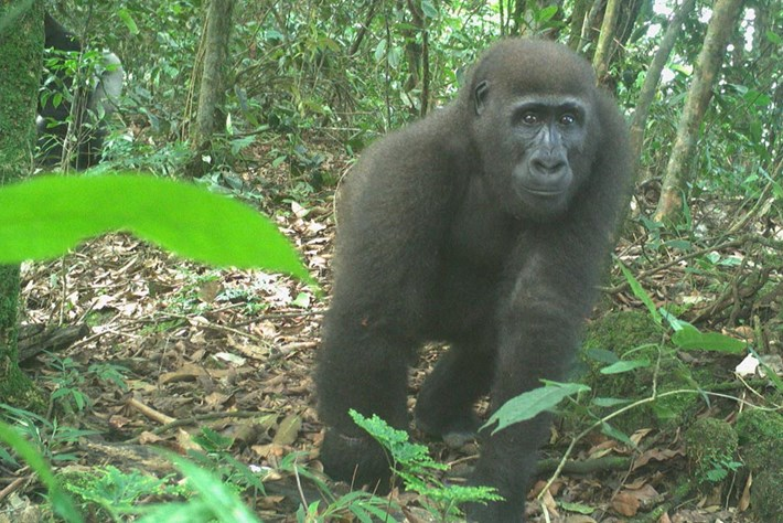 chimpanzees-nigeria-page_2021-07-19.jpg