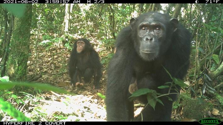 chimpanzees-nigeria_2021-07-19.jpg