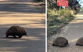 All aboard: Rarely seen echidna 'mating train' caught on camera