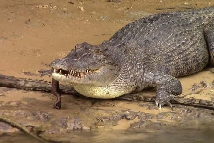 Watch: Saltwater crocodile makes a meal of a file snake
