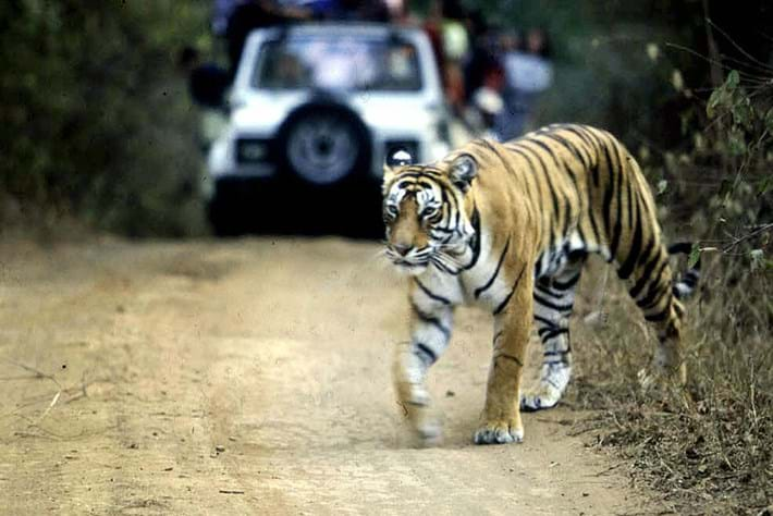 GPS tracking could help tigers and traffic coexist inAsia