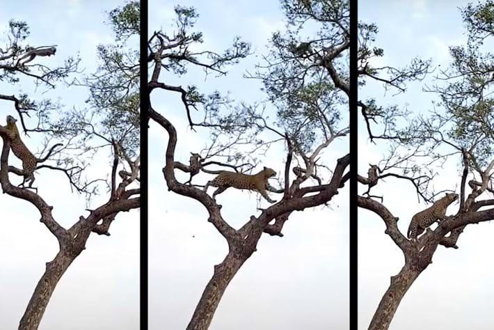 leopard-tree-monkey_page_2021-08-06.jpg