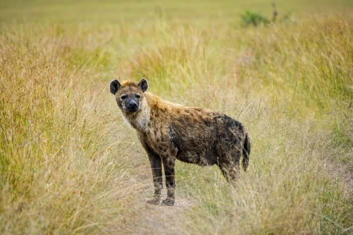 hyena_2021-08-09.jpg