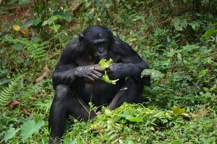 bonobo_2021-08-09.jpg