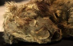 28,000-year-old cave lion cub with whiskers and claws still intact found in Siberia