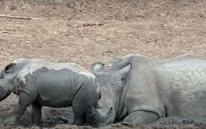 Watch: Adorable baby rhino pesters mom for a spot in the wallowing pool