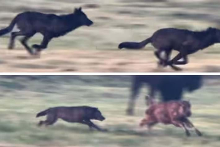 Watch: Baby bison's narrow escape from a pack of wolves on the hunt