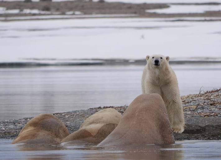 Polar-bear-walrus_2021-08-26.jpg