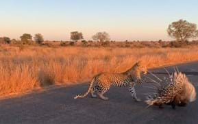 Watch: Leopard learns the hard way why porcupines are not to be messed with