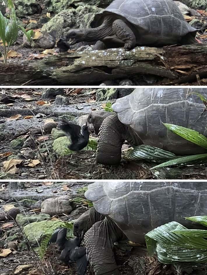 Tortoise-noddy_three-images-2021-09-01.jpg