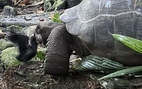 """Startling video of giant tortoise's """"slow-motion"""" bird murder is a first for science"""