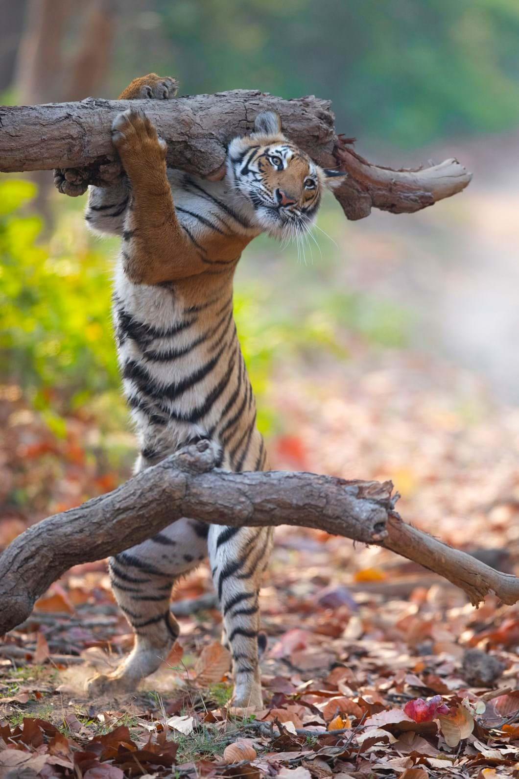 Siddhant-Agrawal-tiger_2021-09-02.jpg