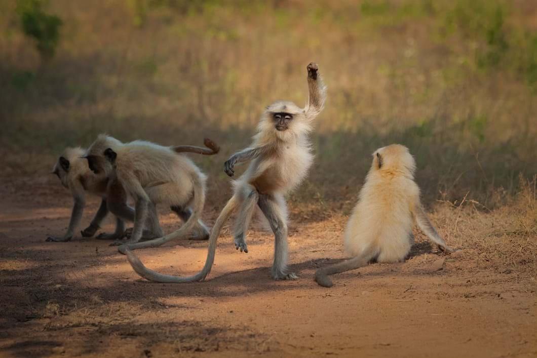Sarosh-Lodhi-langur-monkey-funny_2021-09-02.jpg