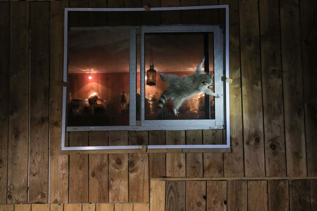 Nicolas-de-Vaulx-raccoon-window-funny_2021-09-02.jpg