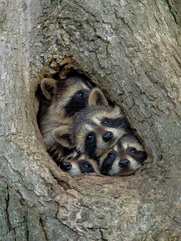 Kevin-Biskaborn-raccoon-family_2021-09-02.jpg