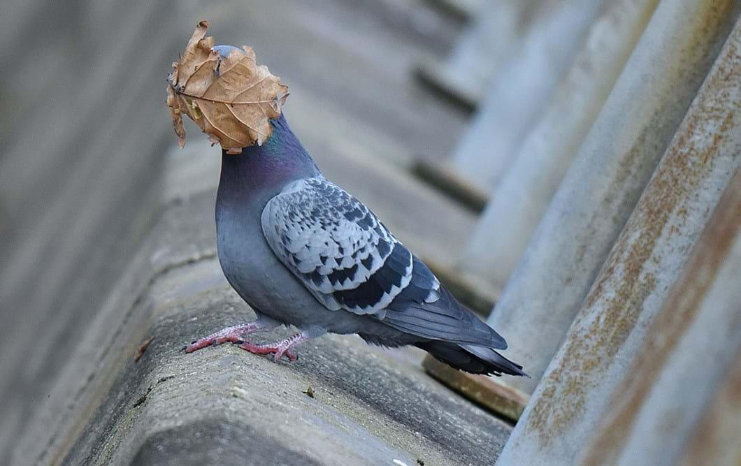 john-speirs-pigeon-leaf-funny_2021-09-02.jpg
