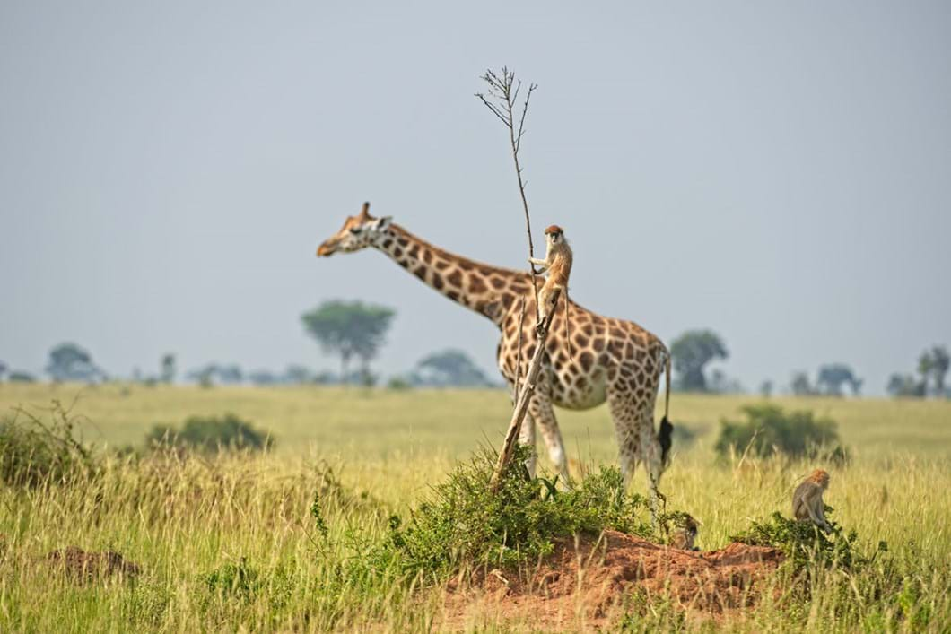 Dirk-Jan-Steehouwer-monkey-riding-a-giraffe_2021-09-02.jpg