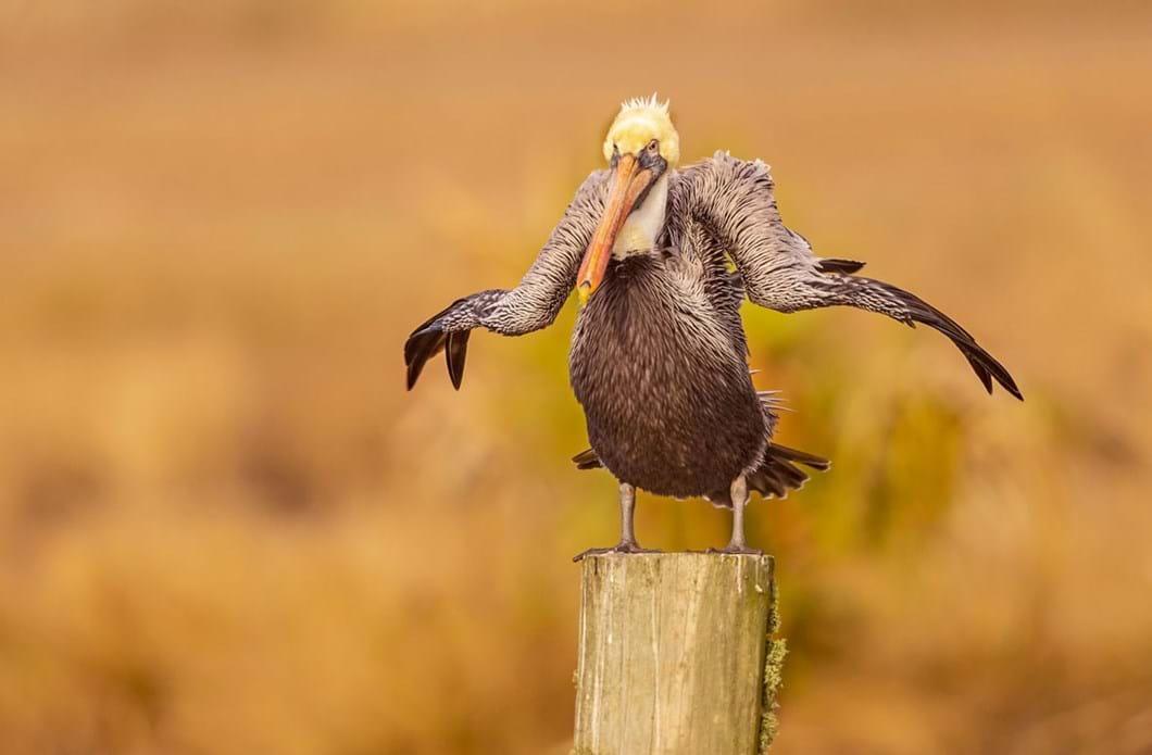 Dawn-Wilson-pelican_2021-09-02.jpg