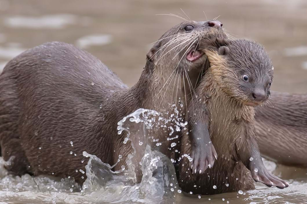 Chee-Kee-Teo-otters-funny_2021-09-02.jpg