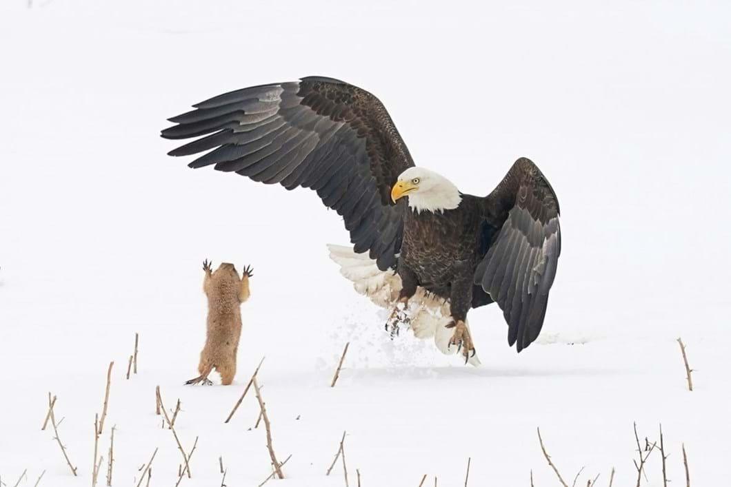 Arthur-Trevino-eagle-prairie-dog_2021-09-02.jpg