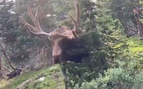 Close encounters: Recent viral videos remind us that moose mean business