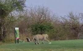 Watch: Leopard can't resist a playful game on Kruger Park golf course