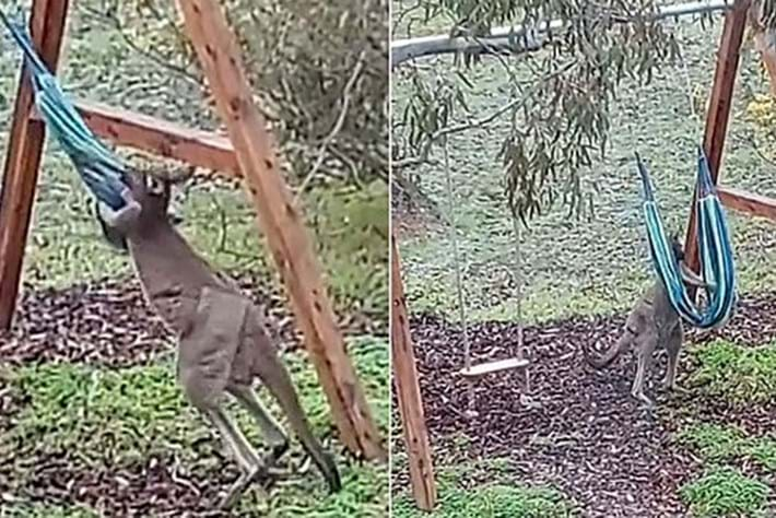 Watch: Kangaroo picks a fights with a hammock, comes off second best