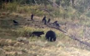 Watch: Cheeky Yellowstone wolf nips grizzly bear on the butt