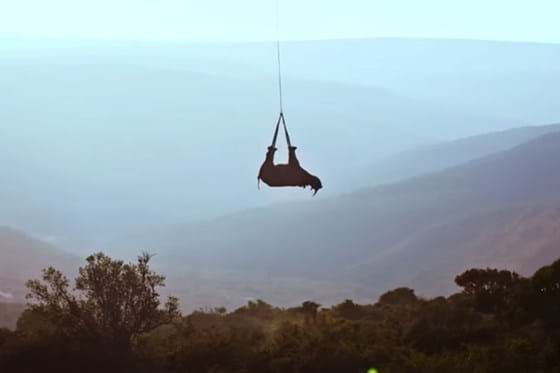 Rhinos: scientists are hanging them upside-down from helicopters – here'swhy