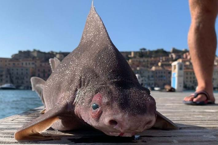 In photos: Peculiar 'pig-faced' shark found floating in the Mediterranean