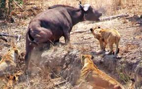 Watch: Lions corner buffalo, rest of the herd charge to the rescue