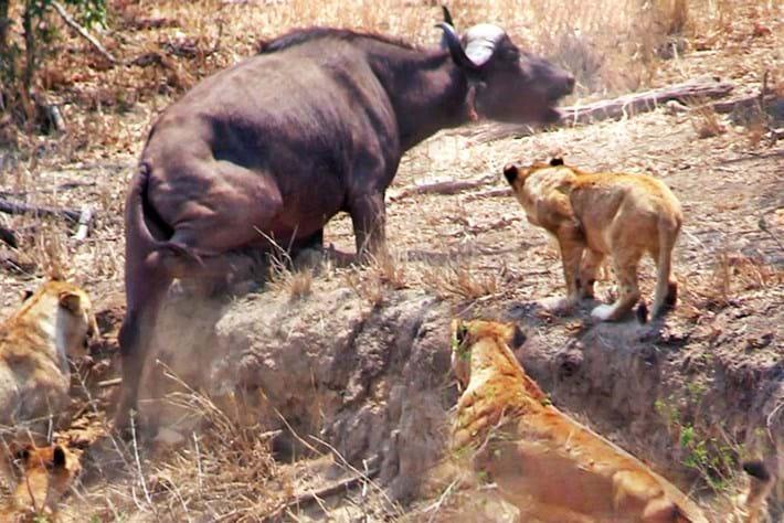 lions-buffaloes_2021-09-27.jpg