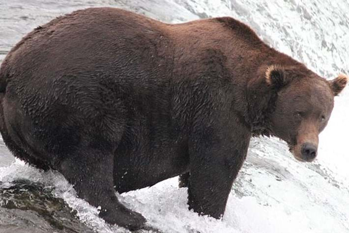 Fat Bear Week 2021: Who will be crowned champion of chunk?