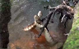 Choreographed combat: Watch two cottonmouth snakes 'dance-fight' for dominance