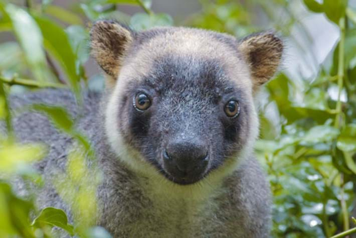 Tree Kangaroos: Ghosts of the Forest