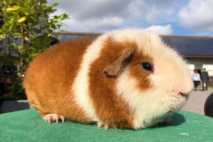 Guinea Pig Diaries