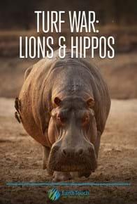 Turf War: Lions & Hippos