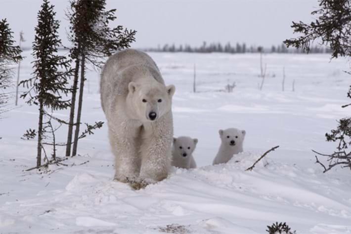 Kingdom of the Polar Bears