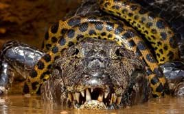Anaconda wrestles with caiman in rare reptilian showdown