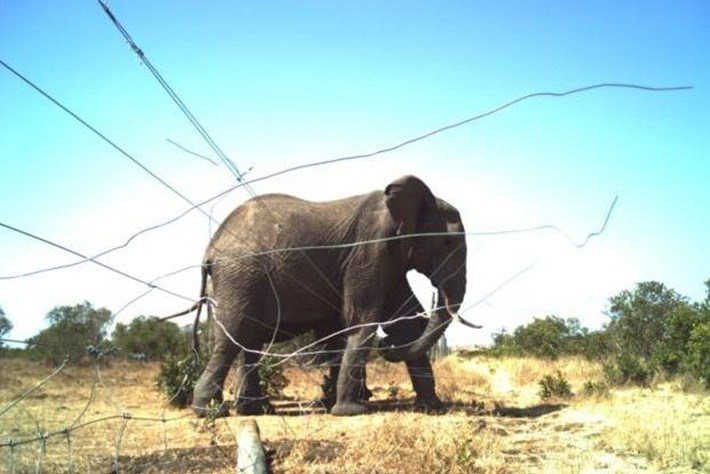 Tweeting Elephants Breaking Fence