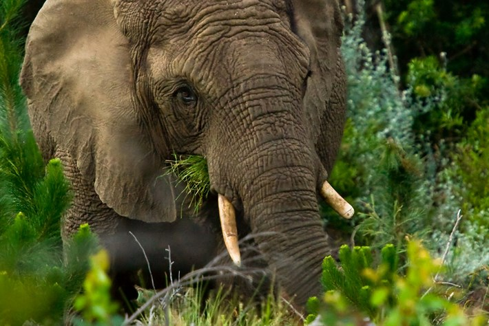 Knysna Elephant Page Image